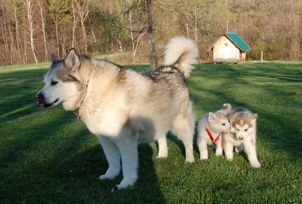 raças de cães grandes